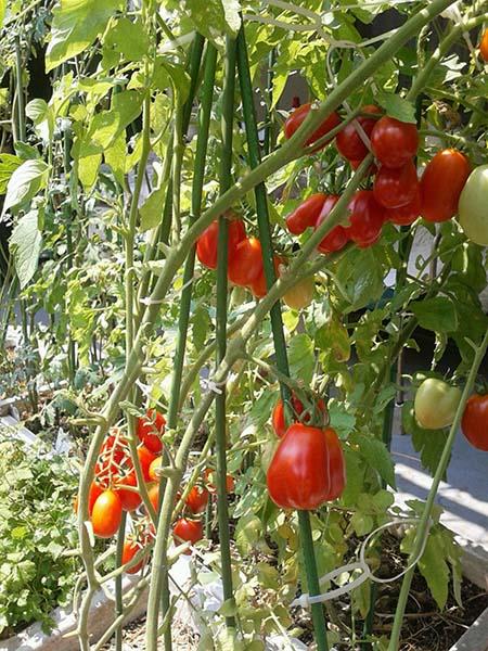tomato01
