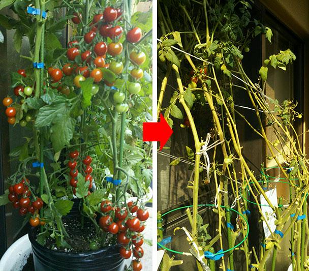 tomatotoma